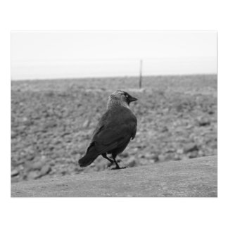 Imagem do pássaro. Jackdaw. Flyer 11.43 X 14.22cm