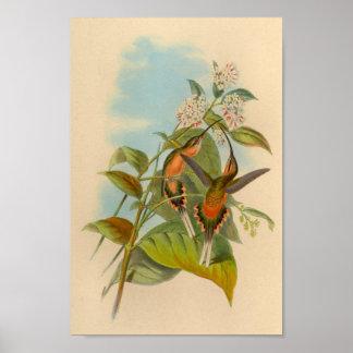 Impressão 1861 do colibri do eremita do vintage