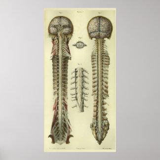 Impressão 1866 da anatomia dos nervos da medula