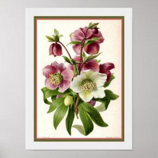 Impressão 1883 botânico do Hellebore do vintage