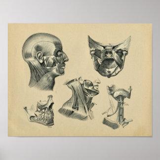 Impressão 1902 do vintage da anatomia do pescoço