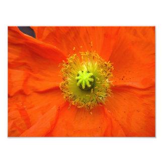 Impressão alaranjado da foto da flor da papoila impressão de foto