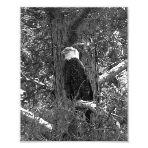Impressão americano BW da foto da águia americana