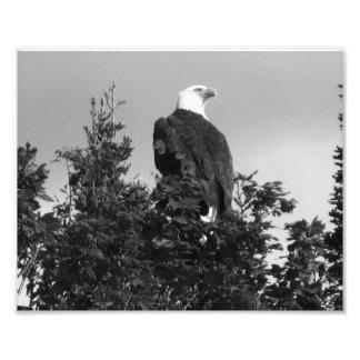 Impressão americano BW da foto da águia americana Impressão De Foto