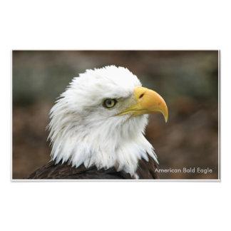 Impressão americano da águia americana impressão fotográficas