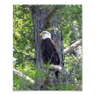 Impressão americano da foto da águia americana