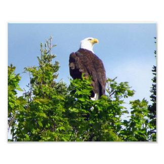Impressão americano da foto da águia americana impressão de foto