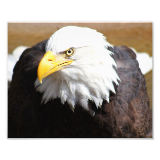 Impressão americano da fotografia da águia