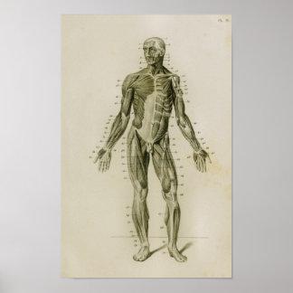 Impressão anterior da anatomia do vintage dos
