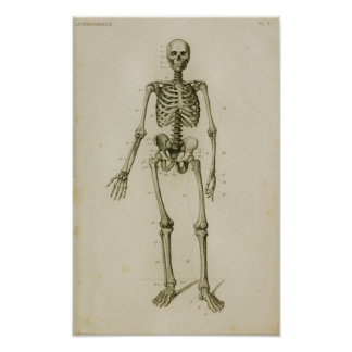 Impressão anterior de esqueleto humano da anatomia