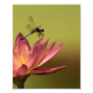 Impressão azul de Waterlily 8x10 do rosa da Impressão De Foto