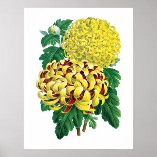 Impressão botânico do crisântemo