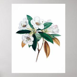 Impressão botânico do rododendro
