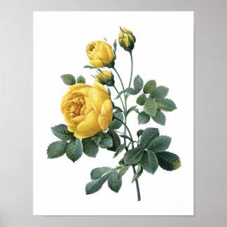 Impressão botânico do ROSA AMARELO por Redoute