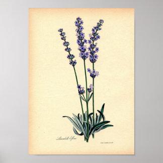 Impressão botânico do vintage - lavanda