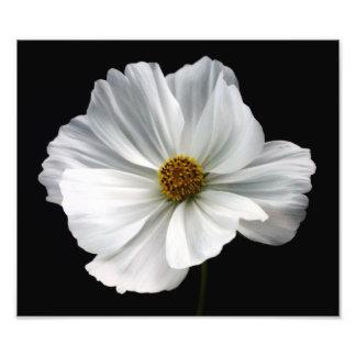 Impressão branco da foto do cosmos impressão de foto