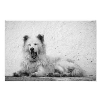 Impressão - cão branco de bocejo em Santorini, Foto
