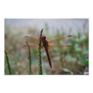 Impressão cardinal da libélula de Meadowhawk Artes De Fotos