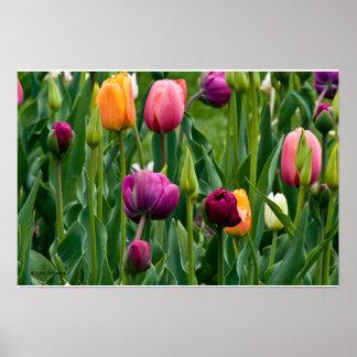 Impressão colorido das tulipas