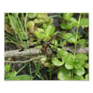 Impressão comum da foto da libélula do Whitetail