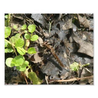Impressão comum da foto da libélula do Whitetail Impressão De Foto