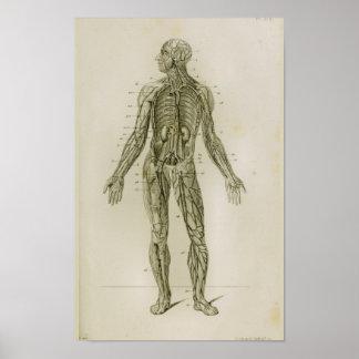 Impressão da anatomia do vintage das veias dos