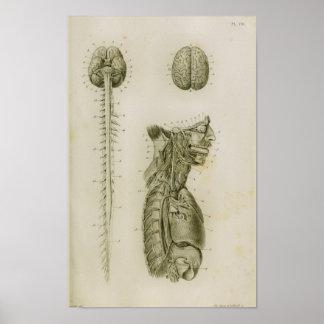 Impressão da anatomia dos nervos da medula espinal