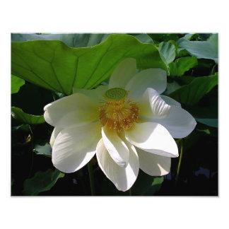 Impressão da foto com a flor de Lotus branco delic