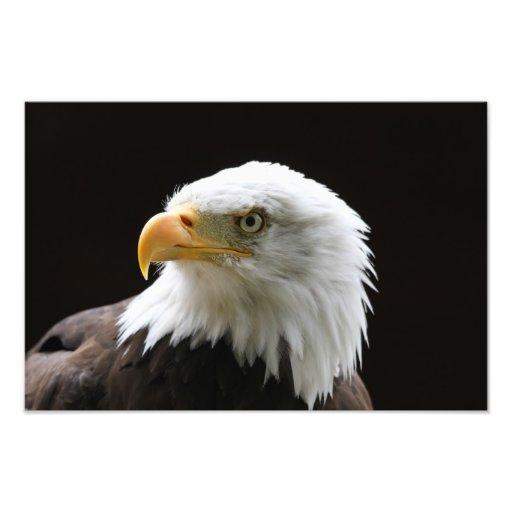 Impressão da foto da águia americana