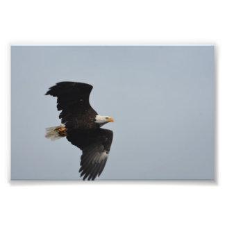 Impressão da foto da águia americana impressão de foto