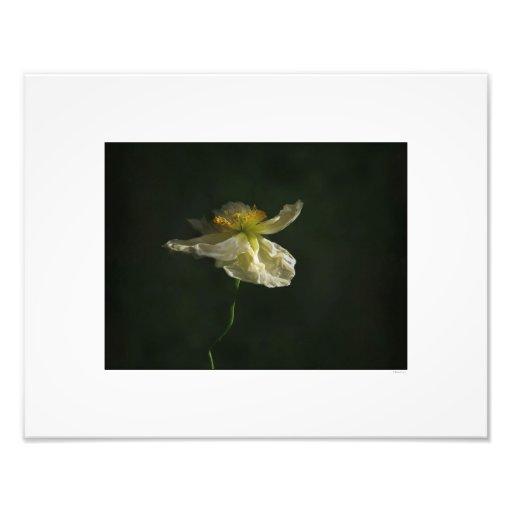 Impressão da foto da flor da papoila branca