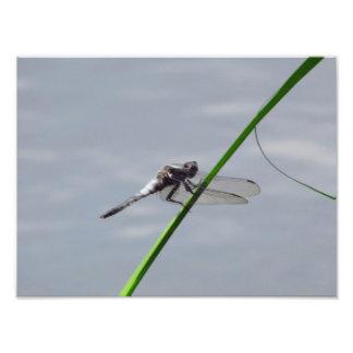 Impressão da foto da libélula impressão de foto