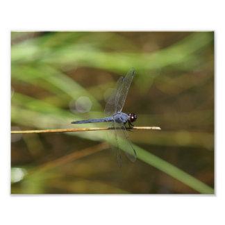 Impressão da foto da libélula do Skimmer do Slaty