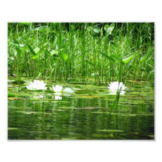 Impressão da foto de Lillies da água