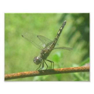 Impressão da foto do Handstand da libélula Impressão De Foto
