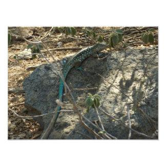 Impressão da foto do lagarto de Aruban Whiptail