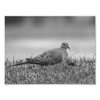 Impressão da foto do pássaro da pomba