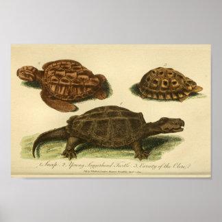 Impressão da história natural das tartarugas do