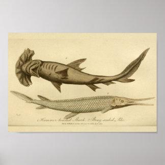 Impressão da história natural do tubarão da cabeça