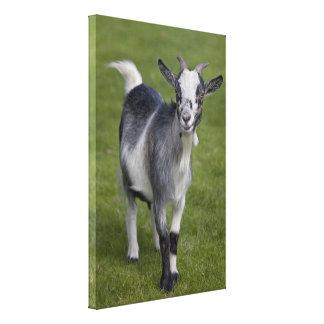 Impressão das canvas da cabra do pigmeu