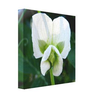 Impressão das canvas da flor da ervilha doce