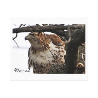 impressão das canvas do falcão da Vermelho-cauda