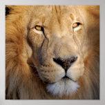 Impressão das imagens do leão