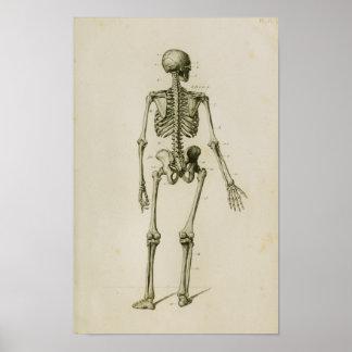 Impressão de esqueleto humano da anatomia do