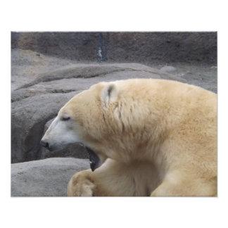 Impressão do bocejo do urso polar artes de fotos