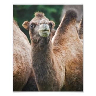 Impressão do camelo bactriano impressão de foto