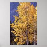 Impressão do poster da árvore do álamo tremedor da