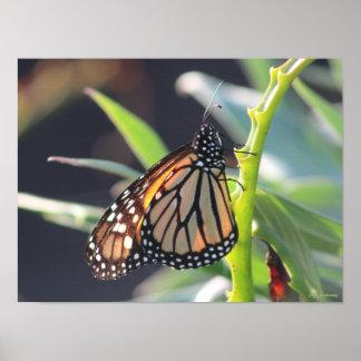 Impressão do poster do Semi-Brilho da borboleta de