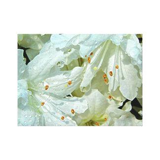 Impressão Em Canvas Azáleas brancas na chuva na primavera