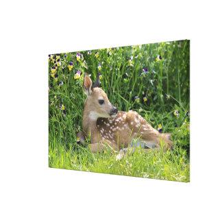 Impressão Em Canvas cervos Branco-atados (virginianus do Odocoileus)